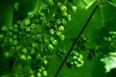 June - Preflowering clusters