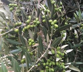 August - Green fruit